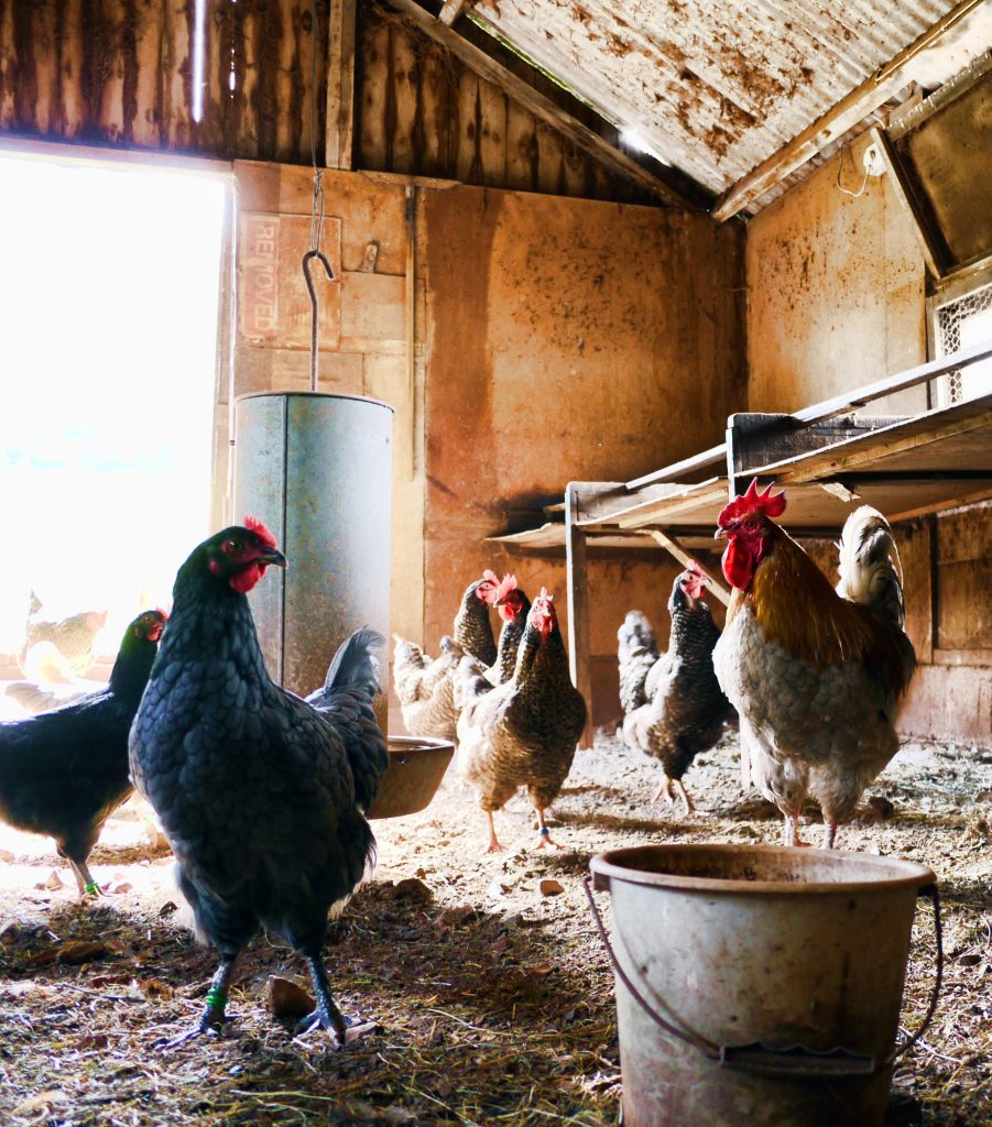 Stop wasting food! Feed your chickens your scraps or start a compost pile.
